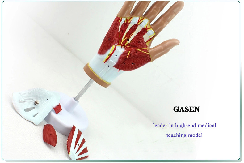 Hand anatomy03