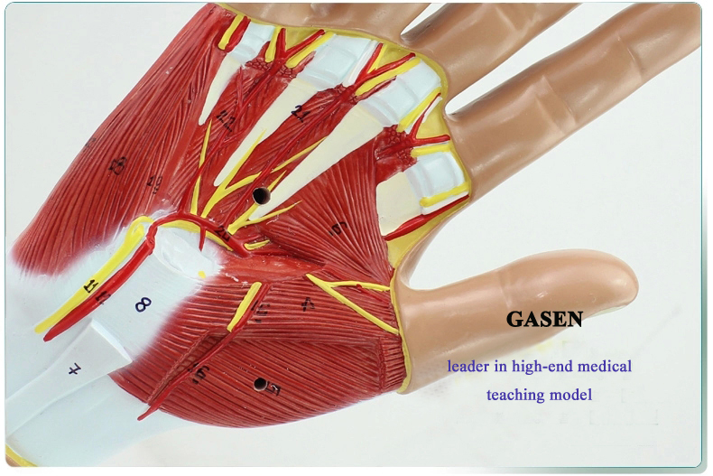 Hand anatomy05
