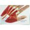 MEDICAL HUMAN  MUSCLES NEUROVASCULAR ANATOMY MODEL HAND TENDON LIGAMENT JOINTS HAND ANATOMY MODEL-GASEN-JR007