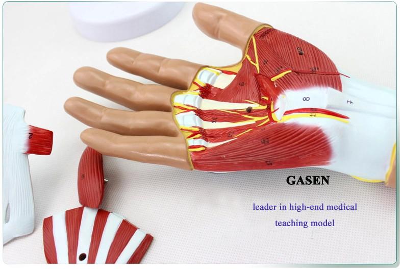 Hand anatomy06
