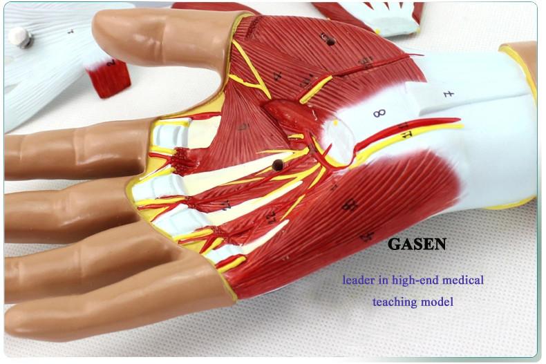Hand anatomy07