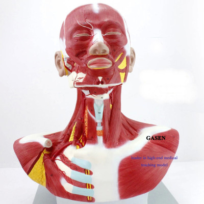 MINIMALLY INVASIVE COSMETIC FACIAL PLASTIC SURGERY MODEL HUMAN MEDICAL HEAD AND NECK CHEST MUSCLE MODEL-GASEN-JR008