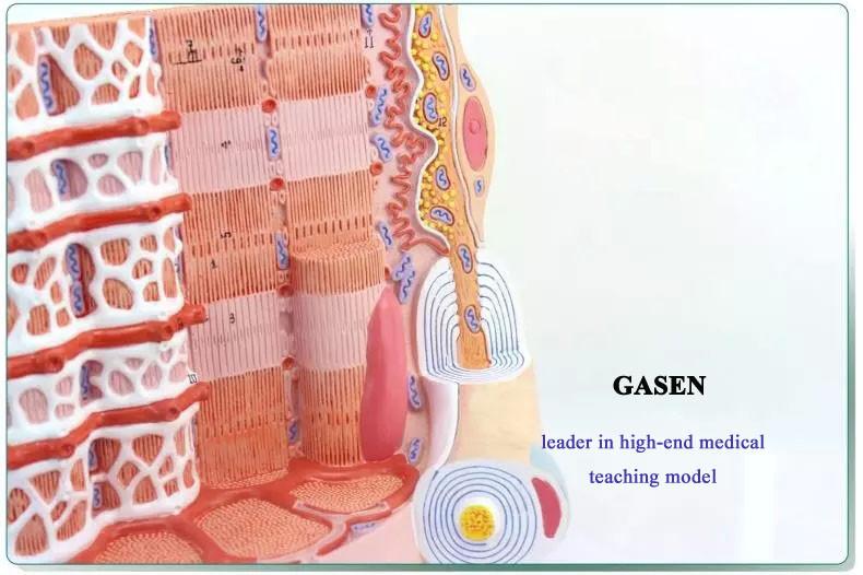 Muscle fiber1