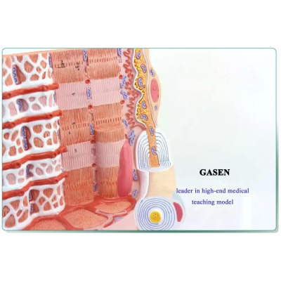 HUMAN MEDICAL MUSCLE FIBER MICROSCOPIC ANATOMY MODEL MUSCLE  FIBER MODEL-GASEN-JR009
