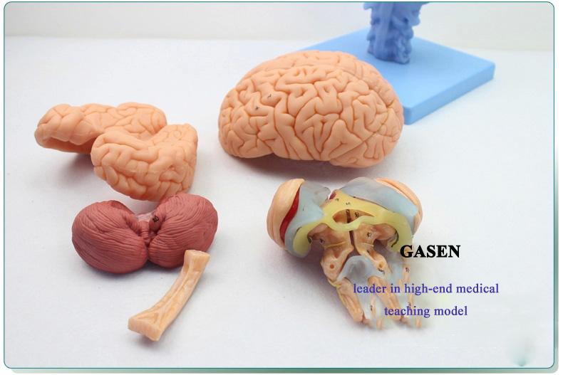 brain anatomy01
