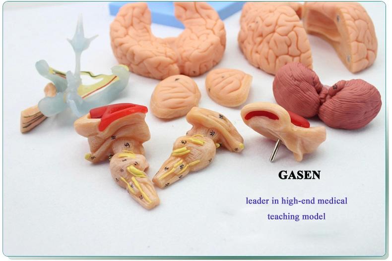 brain anatomy02
