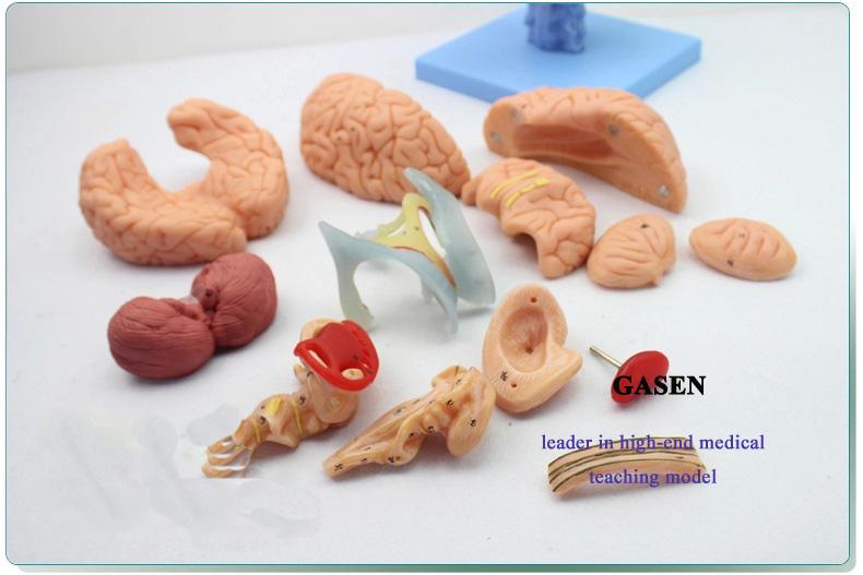 brain anatomy03