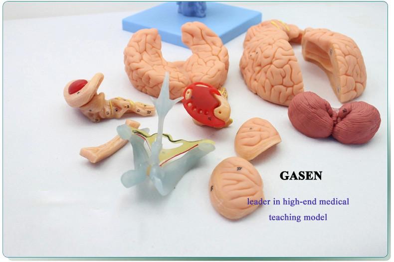 brain anatomy05