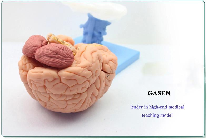 brain anatomy07