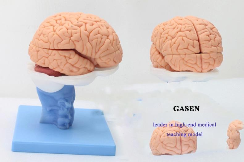brain anatomy08