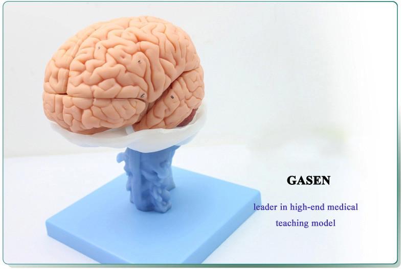 brain anatomy09
