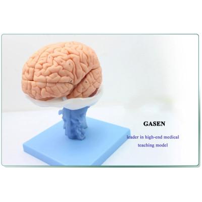 HUMAN ANATOMY VENTRICLES OF BRAIN STEM BETWEEN CMAC NERVOUS SYSTEM MODEL BRAIN ANATOMY MODEL-GASEN-NSJ001