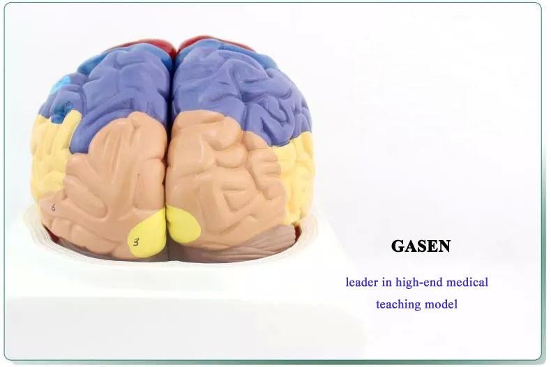 brain model1