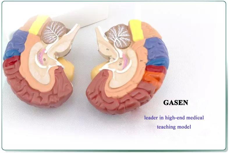 brain model2