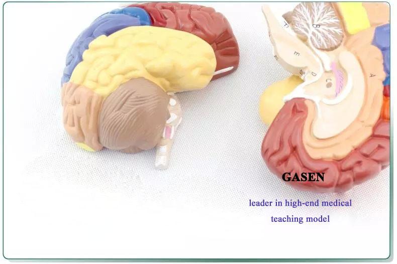 brain model3