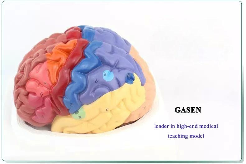 brain model4