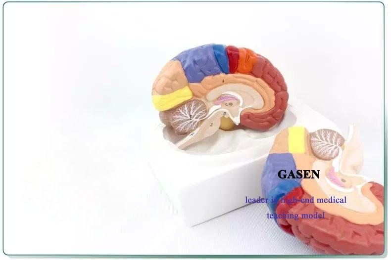 brain model5