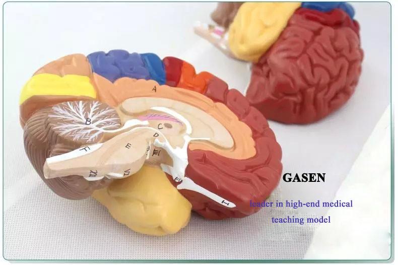 brain model6