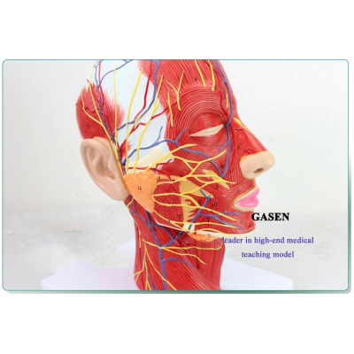 MEDICAL CEREBROVASCULAR NERVE HEAD AND FACIAL ANATOMY MODEL ENT COSMETIC SURGERY MODEL THE HEAD FACE MODEL GASEN-NSJ004