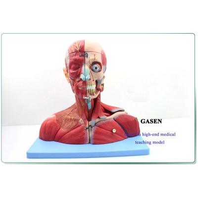 BRAIN AND NECK NEUROVASCULAR BRAIN MODEL NEUROLOGY OTORHINOLARYNGOLOGY BRAIN ANATOMY MODEL BRAIN AND NERVOUS MODEL GASEN-NSJ006