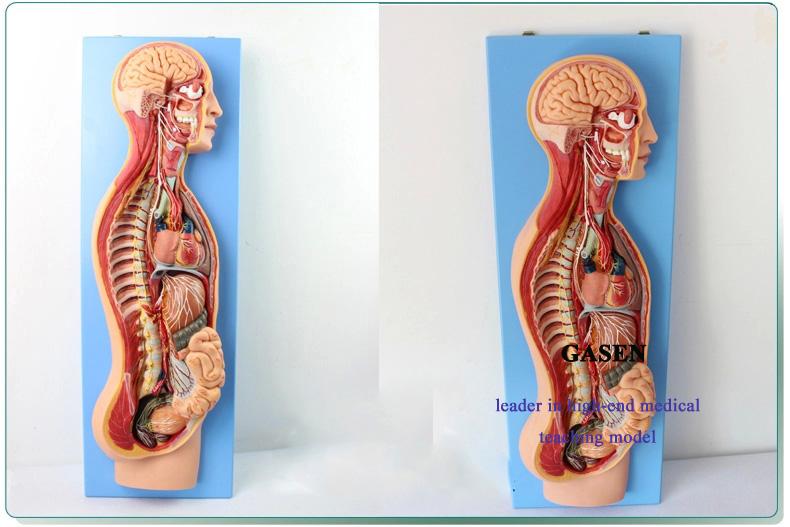 Sympathetic nerve5