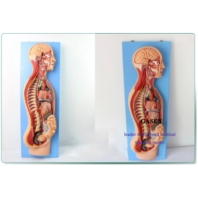 SYMPATHETIC NERVOUS PARASYMPATHETIC AUTONOMIC NERVOUS SYSTEM ANATOMICAL MODEL THE SYMPATHETIC NERVOUS SYSTEM MODEL-GASEN-NSJ008