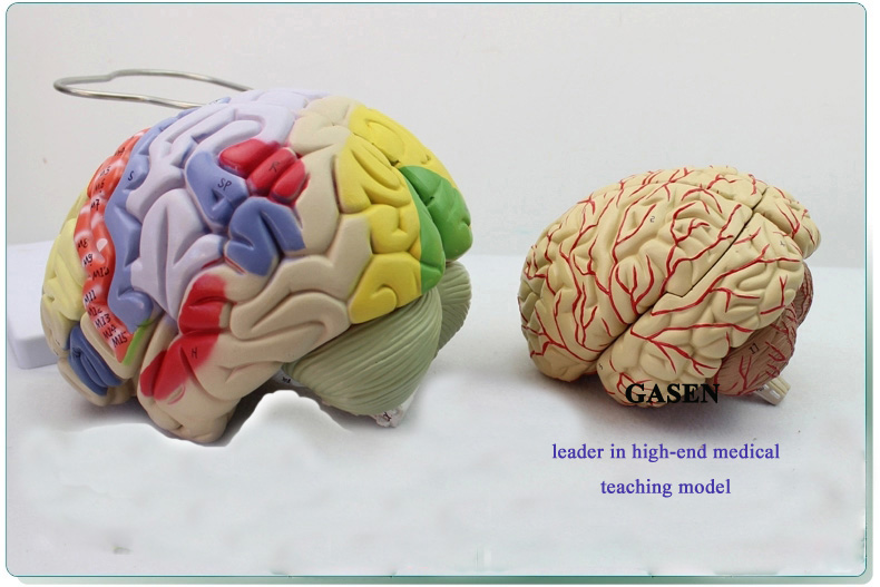 Brain anatomy2