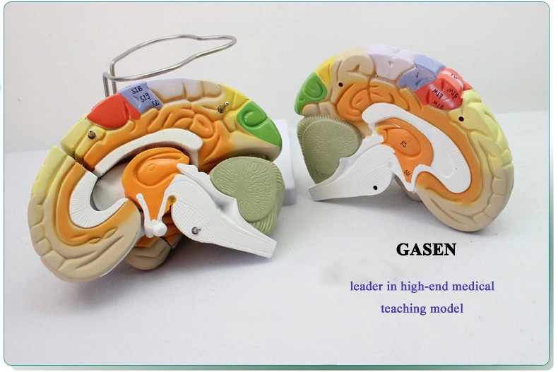 Brain anatomy5