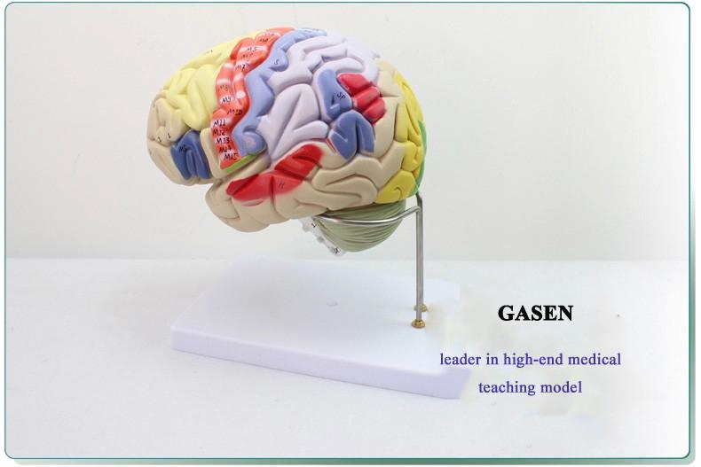 Brain anatomy7
