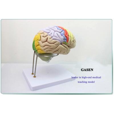MODEL OF THE HUMAN BRAIN BRAIN BRAIN ANATOMY MODEL ZONING MODEL BRAIN ANATOMICAL MODEL-GASEN-NSJ009