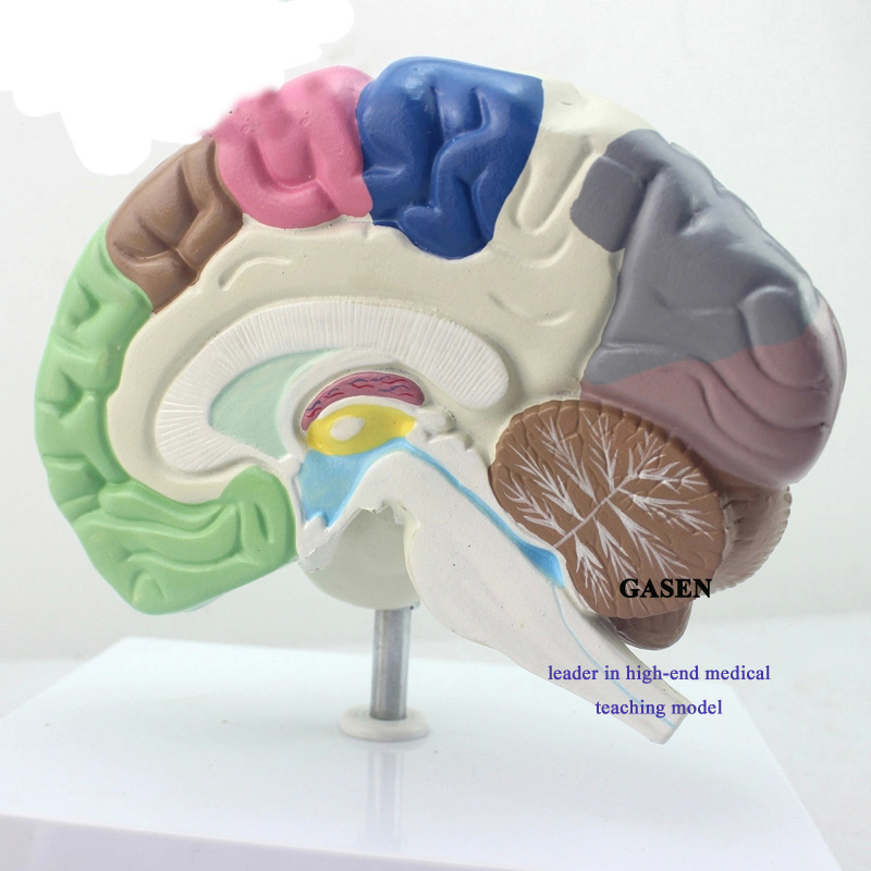 The brain functional area1