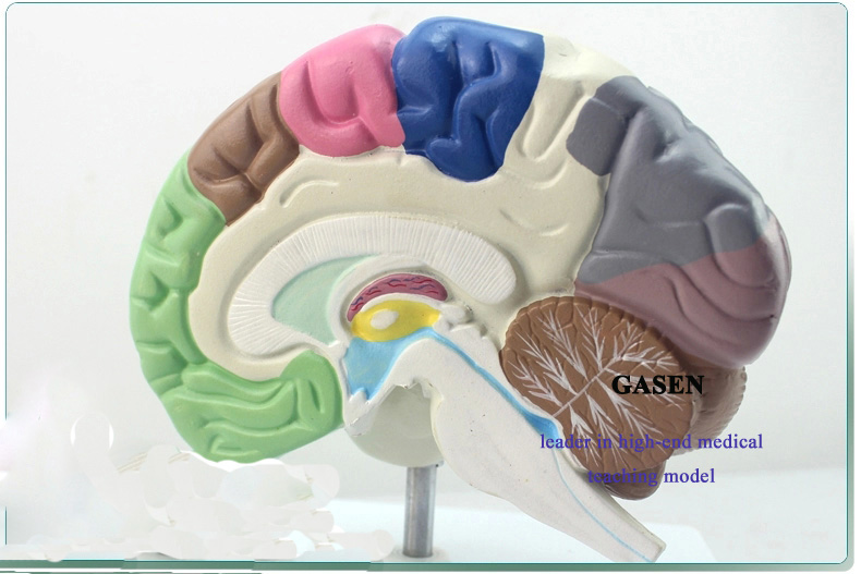The brain functional area3