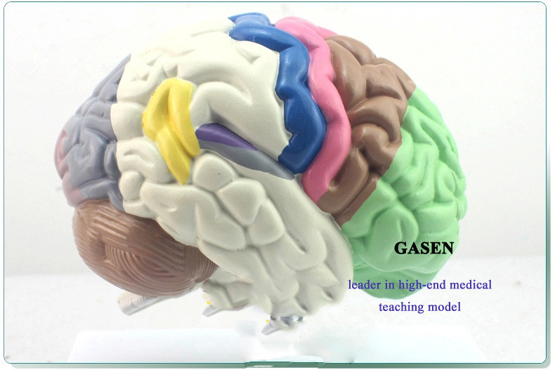 The brain functional area4