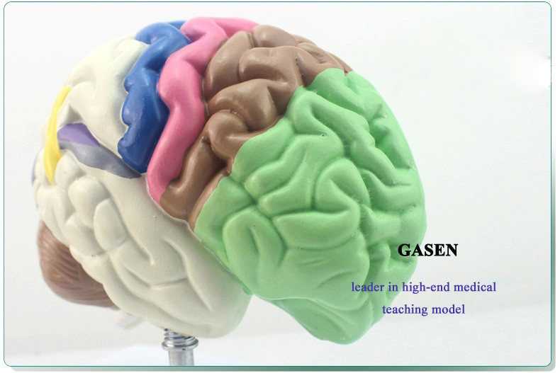 The brain functional area6
