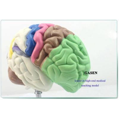 HUMAN BRAIN PARTITION TELENCEPHALON HEMISPHERE BRAIN VENTRICLE ANATOMICAL MODEL THE BRAIN FUNCTIONAL ZONING MODEL-GASEN-NSJ010