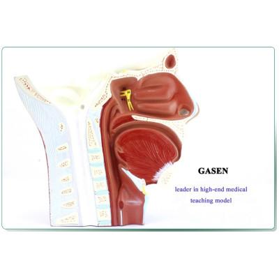 CRANIAL NERVE HEAD MODEL MODEL NEUROLOGY, ENT COSMETIC SURGERY THE HEAD NEURAL MODEL-GASEN-NSJ011
