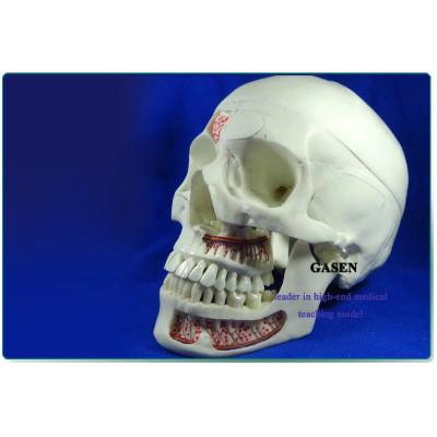 MEDICAL SIMULATION MODEL OF HUMAN SKULL DENTAL SKULL NEUROLOGY SKULL SIMULATION HEAD MODEL-GASEN-KQ008