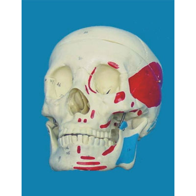 TEACHING HUMAN SKELETON MEDICAL SIMULATION HUMAN SKULL SIMULATION HEAD MODEL NATURAL LARGE SKULL (WITH MUSCLE STARTING AND ENDING) -GASEN-RZGL036