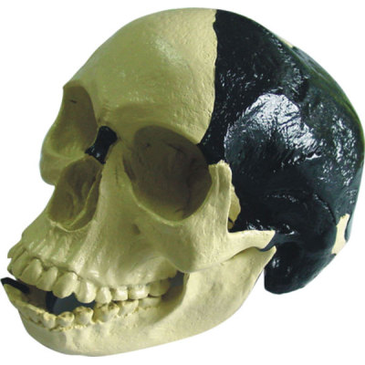 BERTO MAN SKULL TEACHING HUMAN SKELETON MEDICAL SIMULATION HUMAN SKULL SIMULATION HEAD MODEL BILDT TEUTONIC SKULL -GASEN-RZGL043