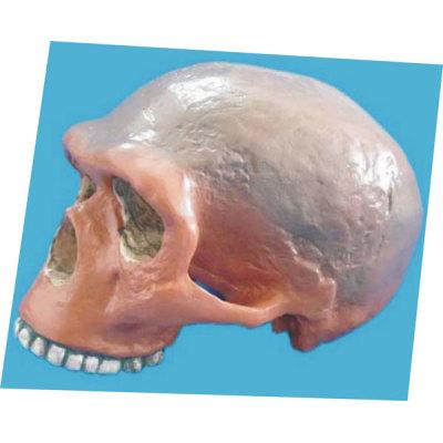 STEIN HEIN MAN SKULL TEACHING HUMAN SKELETON MEDICAL SIMULATION HUMAN SKULL SIMULATION HEAD MODEL BULLY DIEN NI SKULL -GASEN-RZGL039