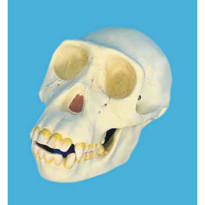 CHIMPANIEE SKULL TEACHING HUMAN SKELETON MEDICAL SIMULATION HUMAN SKULL SIMULATION HEAD MODEL CHIMPANZEE SKULL -GASEN-RZGL042