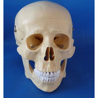 TEACHING HUMAN SKELETON MEDICAL SIMULATION HUMAN SKULL SIMULATION HEAD MODEL NATURAL BIG SKULL -GASEN-RZGL035