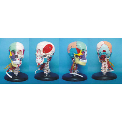 TEACHING HUMAN SKELETON MEDICAL SIMULATION HUMAN SKULL SIMULATION HEAD MODEL NATURAL LARGE SKULL WITH MUSCLES BLOOD VESSELS AND NERVES TABLE -GASEN-RZGL034