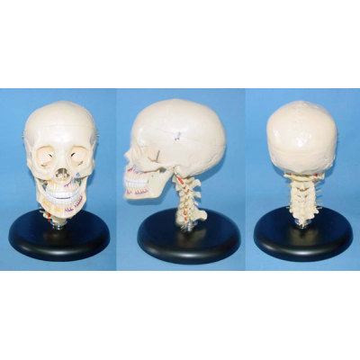 TEACHING HUMAN SKELETON MEDICAL SIMULATION HUMAN SKULL SIMULATION HEAD MODEL NATURAL BIG BONE COLOR SKULL, CERVICAL SPINE WITH FULL DENTITION -GASEN-RZGL037