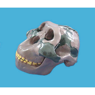 TEACHING HUMAN SKELETON MEDICAL SIMULATION HUMAN SKULL SIMULATION HEAD MODEL ORR ARE LITERATI SKULL -GASEN-RZGL045