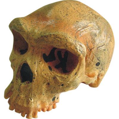 RHOOESIAN MAN SKULL TEACHING HUMAN SKELETON MEDICAL SIMULATION HUMAN SKULL SIMULATION HEAD MODEL RHODESIA HUMAN SKULL 1-GASEN-RZGL040
