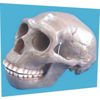 PEKING MAN SKULL TEACHING HUMAN SKELETON MEDICAL SIMULATION HUMAN SKULL SIMULATION HEAD MODEL PEKING MAN SKULL -GASEN-RZGL044
