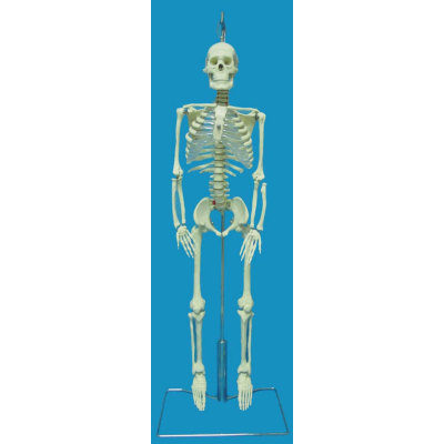 ENVIRONMENTAL MEDICINE TEACHING HUMAN ANATOMY FOR THE DOCTOR COMMUNICATE WITH THE PATIENTS 85CM BENDABLE SPINE BONE -GASEN-RZGL048