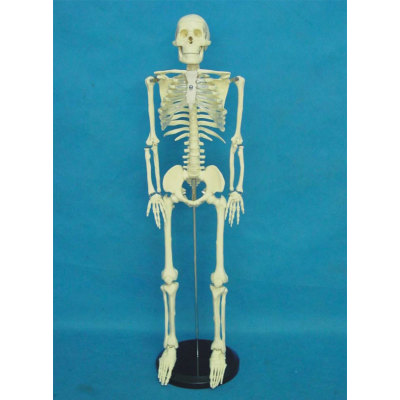ENVIRONMENTAL MEDICINE TEACHING HUMAN ANATOMY FOR THE DOCTOR COMMUNICATE WITH THE PATIENTS85CM TRANSPARENT SKELETON -GASEN-RZGL047