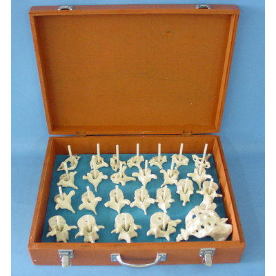 ENVIRONMENTAL PVC MEDICINE TEACHING HUMAN SKELETON FOR DOCTOR COMMUNICATE WITH  PATIENTS170 ADULT SPINE BONE SCATTERED -GASEN-RZGL049